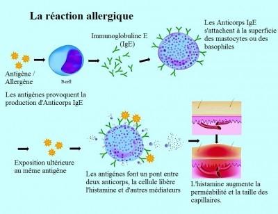 quercetine et schema allergie